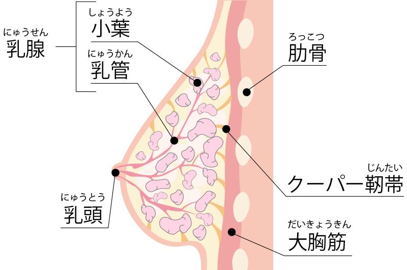 乳腺に発生する悪性腫瘍です
